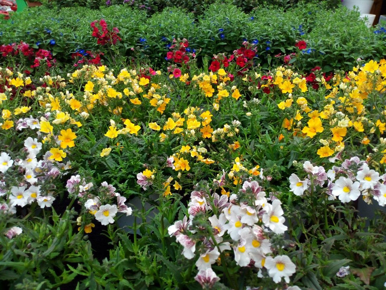 Piante perenni for Fiori piante perenni
