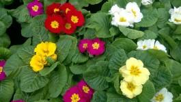 Serra fredda for Primule da colorare